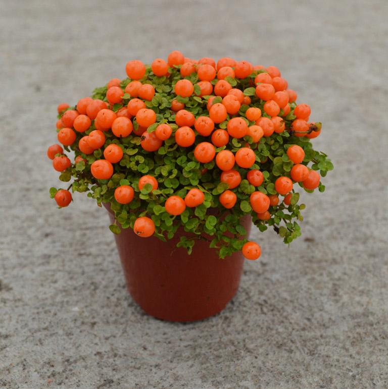 plant-5cm